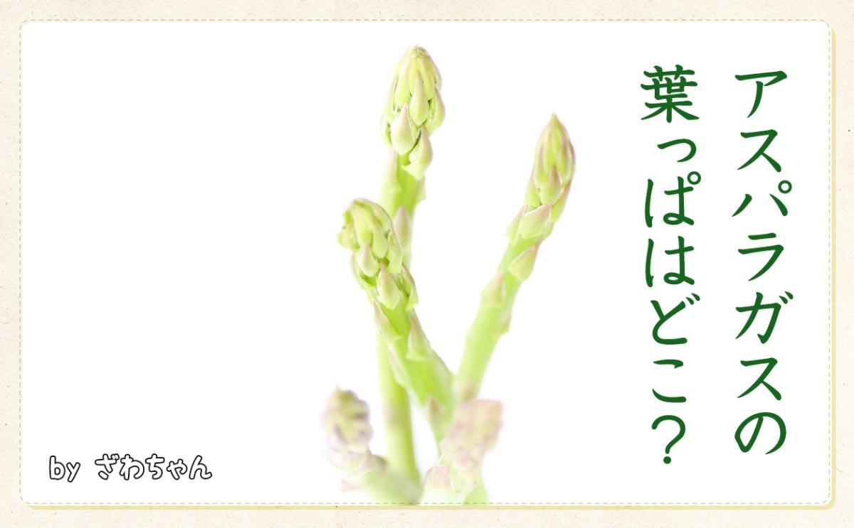 〈食育まめ知識〉アスパラガスの葉っぱはどこ??