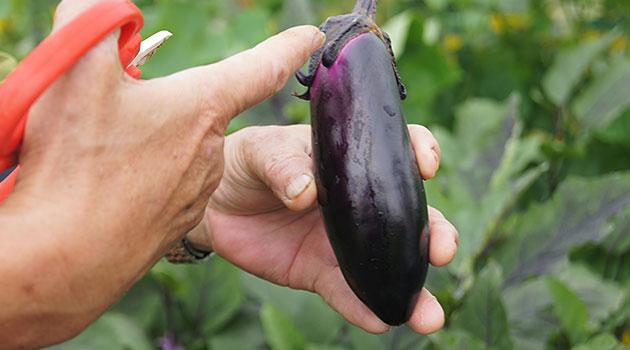 ナスは、その日に育った部分はまだ白っぽくて、日に当たると紫になるんだよ、と木下さん。